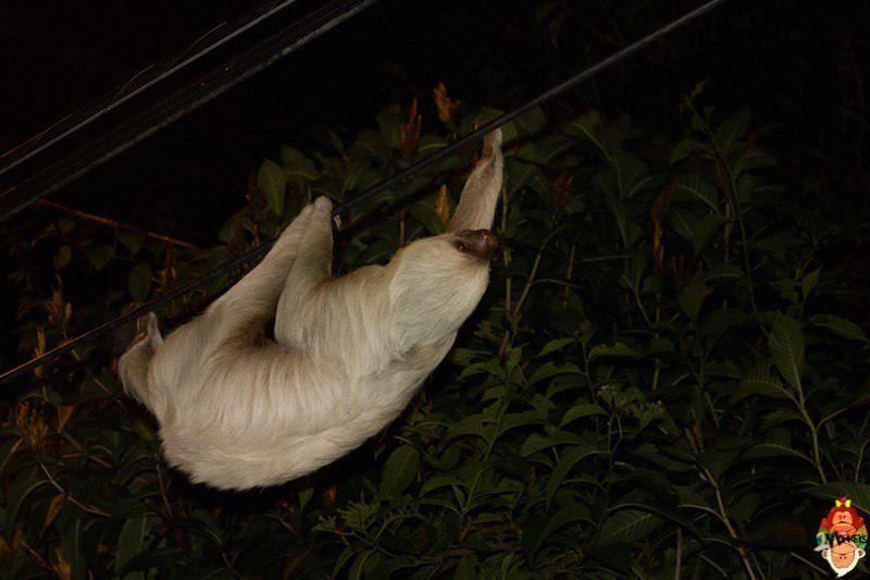 18_quespos_plinio_sloth