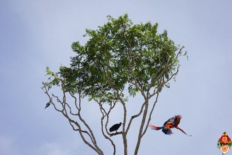 23_drake_bay_scarlet_macaws