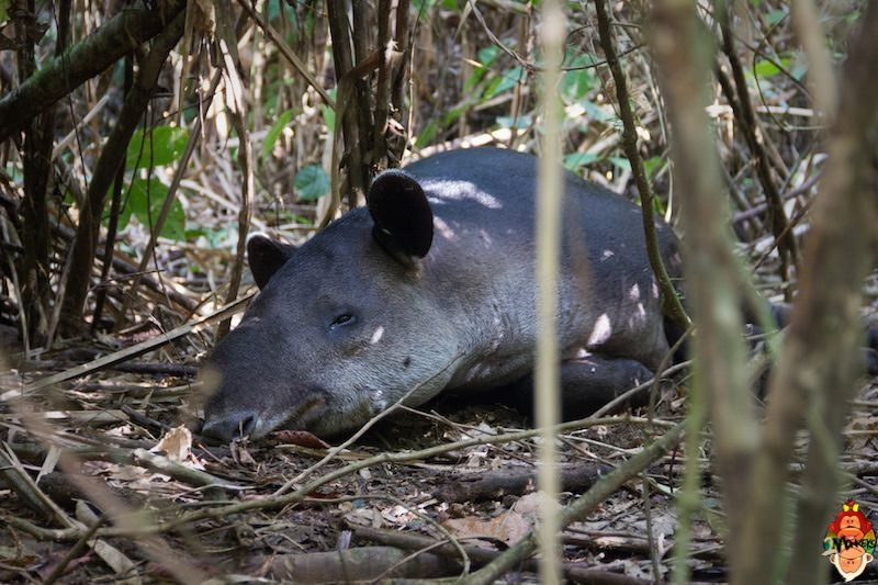 25_corcovado_national_park_tapir