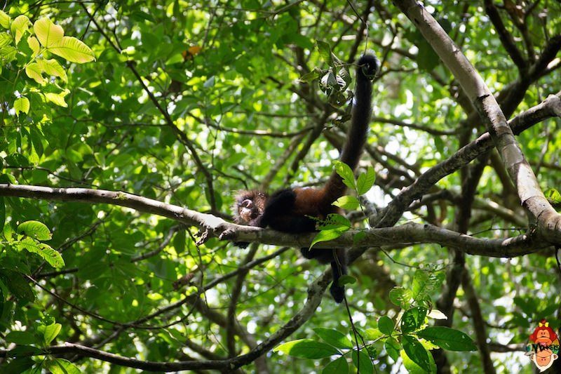 26_corcovado_national_park_spider_monkey