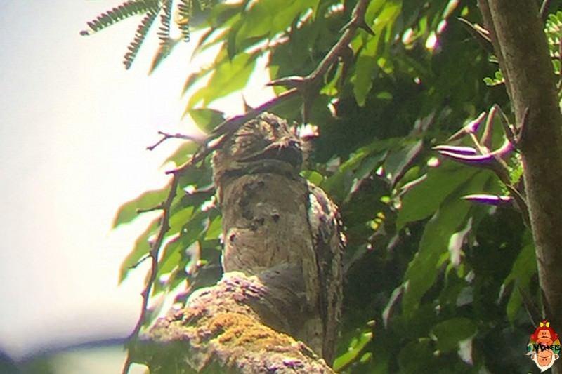 29_corcovado_national_park_hidden_owl