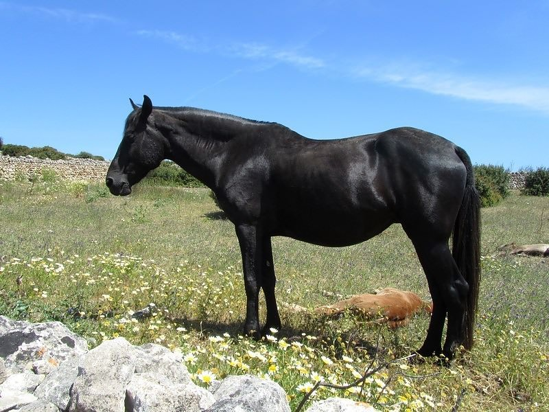 13-Two Monkeys Travel - Outdoor Activities in Menorca -menorcan horse