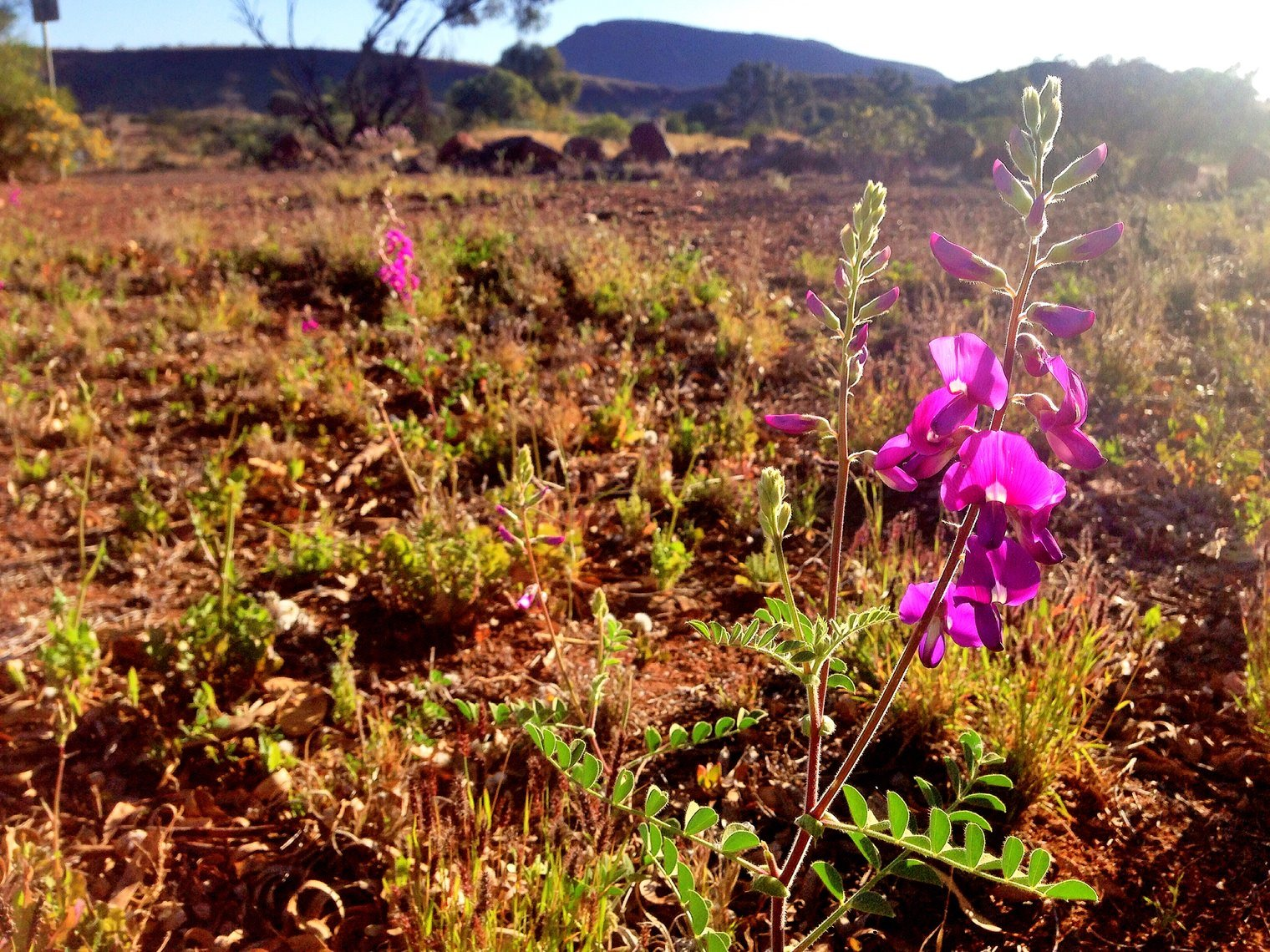 Wildflowers in Pilabara, Western Australia
