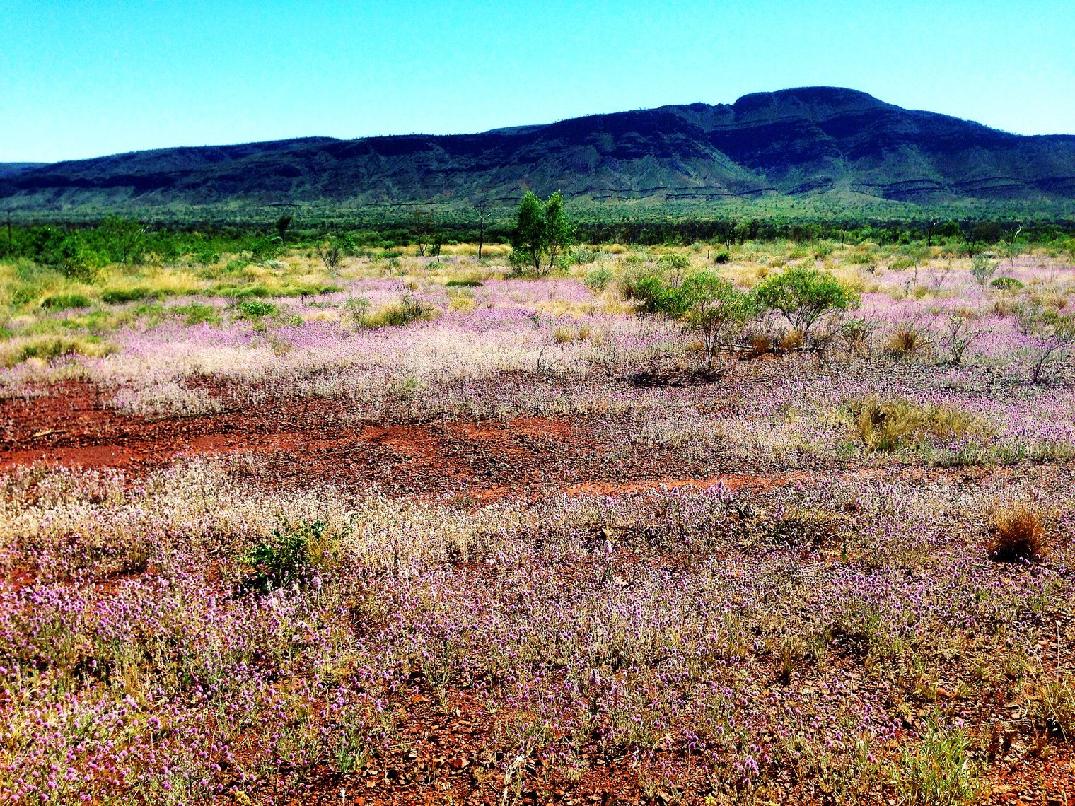 Wildflowers in Pilbara, Western Australia