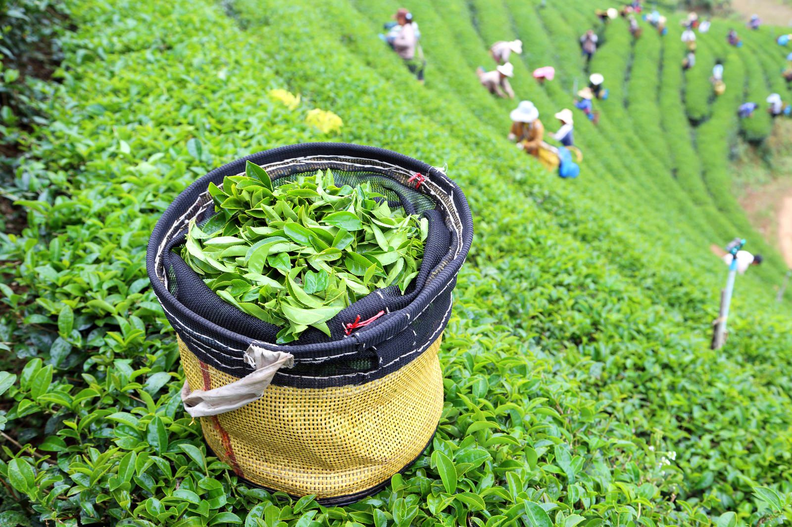 green tea plantation landscape in India
