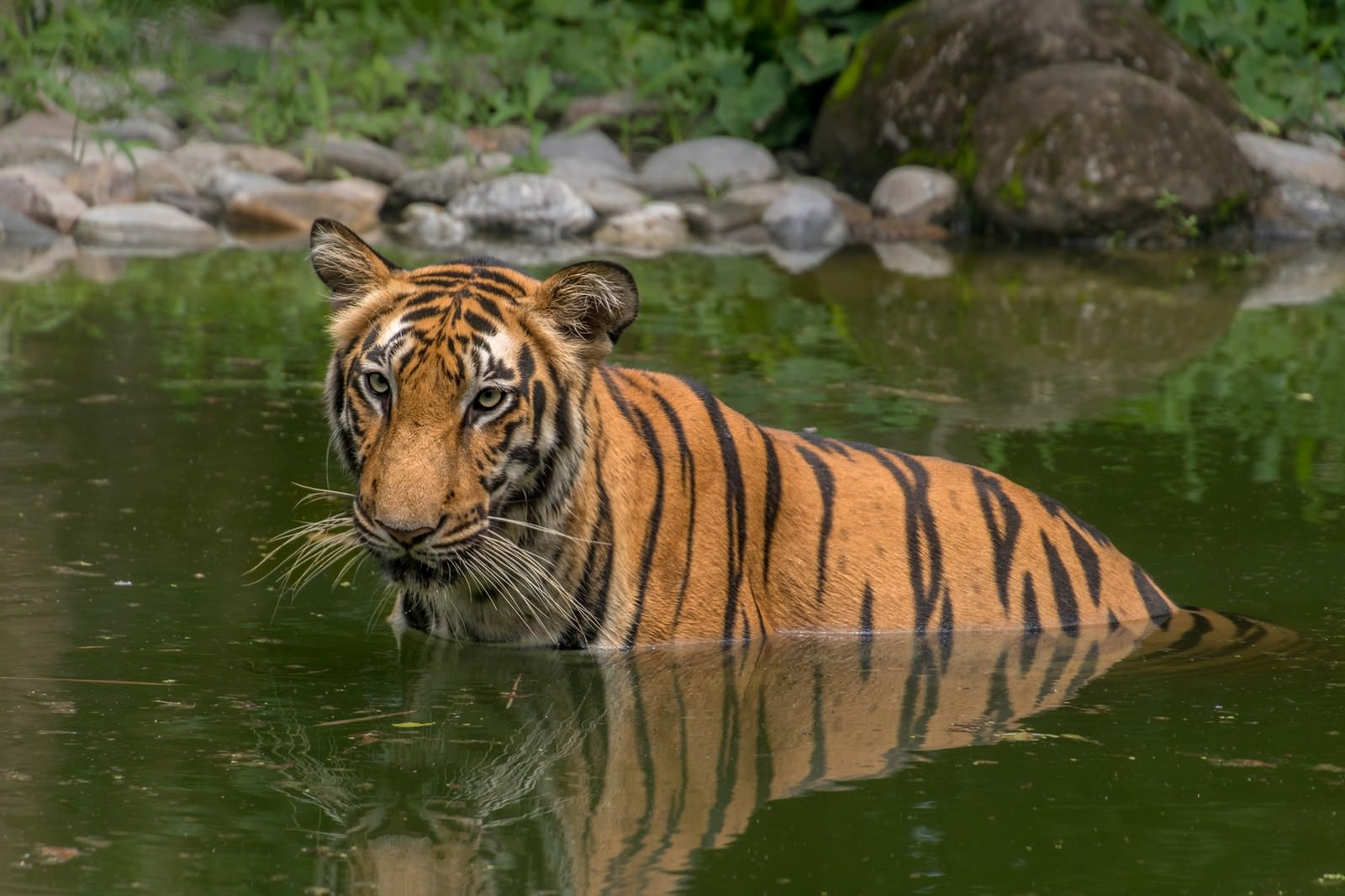 Bengal Tiger (Panthera tigris tigris) half submerged in water
