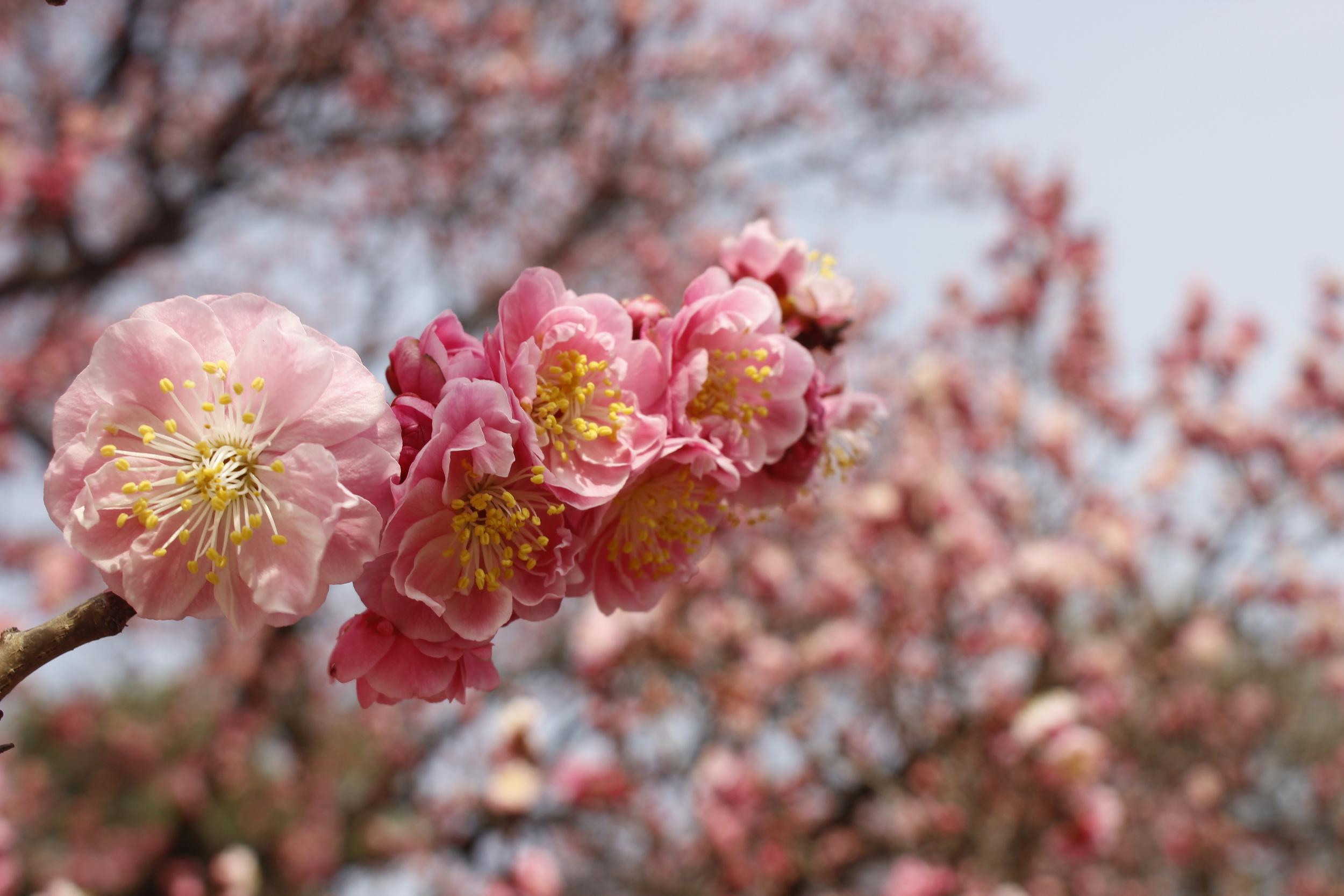 South Korea Cherry Blossom Guide
