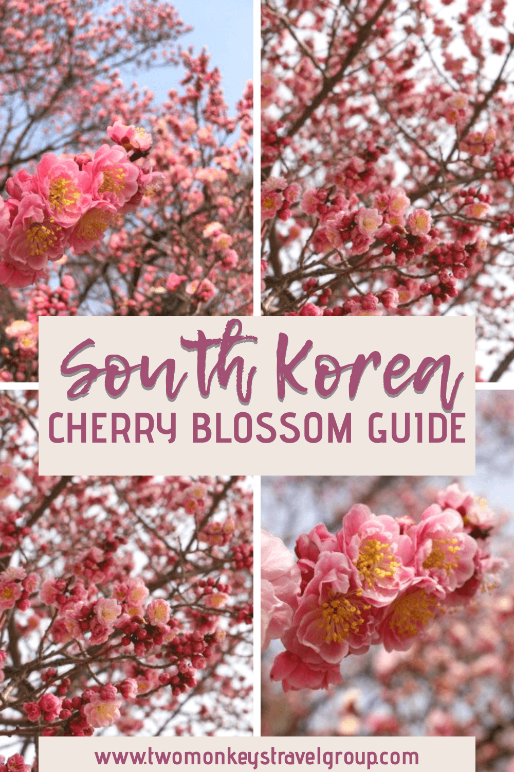 South Korea Cherry Blossom Guide When to visit SoKor to see the Cherry Blossom
